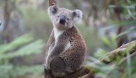 كل ما تريد معرفته عن حيوان الكوالا