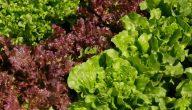 ما هي فوائد نبات الخس