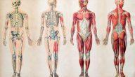 جسم الانسان من الداخل بالتفصيل