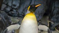 كيف يتكاثر البطريق