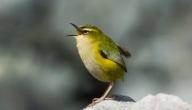 ما هو طائر النمنمة