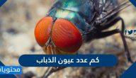 كم عدد عيون الذباب … معلومات عن الذباب وطريقة رؤيته