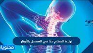 ترتبط العظام معًا في المفصل بالأوتار