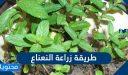 طريقة زراعة النعناع في المنزل وأهم الفوائد والاستخدامات النافعة للنعناع