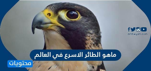 ماهو الطائر الاسرع في العالم
